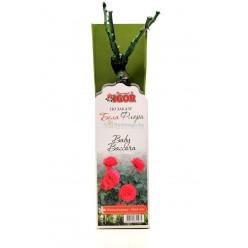 Роза  Бэби Баккара  миниатюрная (саж. ЗКС)  коробка