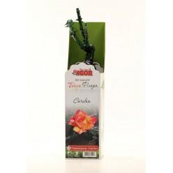 Роза Карибия чайно-гибр.  (саж. ЗКС)