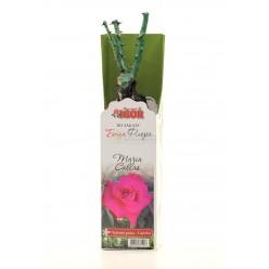 Роза Мария Каллас чайно-гибр. (саж. ЗКС)  коробка Сербия