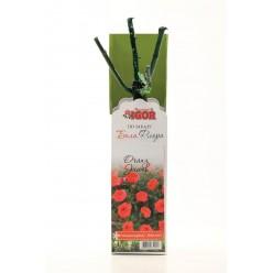 Роза  Оранж Джевел миниатюрная (саж. ЗКС)  коробка