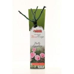 Роза Белла Симфония миниатюрная (саж. ЗКС)  коробка