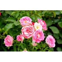 Роза Принцесс Грейс чайно-гибридная 3