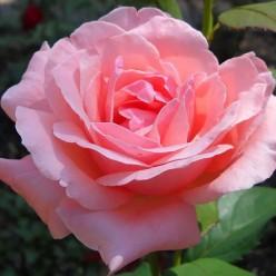 Роза Куин оф Ингланд парковая грандифлора 3