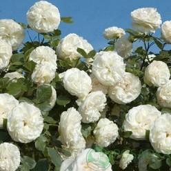 Роза Шнеевальзер плетистая 3