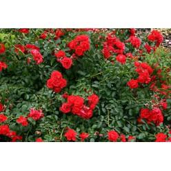 Роза Сорренто почвопокровная 3