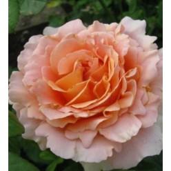 Роза Лорд Байрон плетистая 3