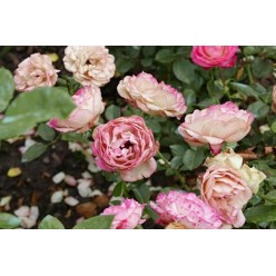 Роза Акрополис флорибунда 3