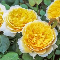 Роза Шарлотт английская 3
