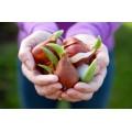 У нас можно купить луковицы цветов весенней высадки  в Москве и других городах России.