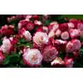Купить саженцы роз в Москве с доставкой по всей России