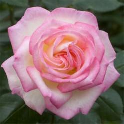 Роза Принцесс Грейс чайно-гибридная (саж. ЗКС) каперс