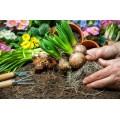 Купить луковичные цветы, каталог 2019