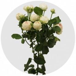"""Роза штамбовая Порчелина """"Monteаgro"""" 8.83"""