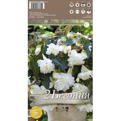 Бегония Illumination White р.4-5  2шт/уп луковица