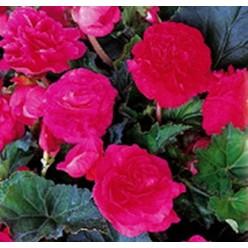 Бегония махровая розовая (25шт/уп)