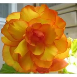 Бегония балконная оранжево-жёлтая 5+