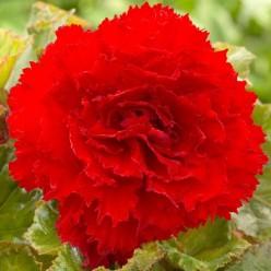 Бегония FIMBRIATA RED 5-6  (2шт/упак) (луковица) Юниор