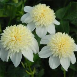 Георгина Платинум Блонд Анемоновидная Белая размер 1 (луковица, 1 штука/упаковка)