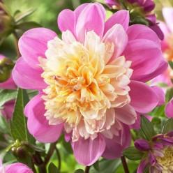 Георгина Тэйк Ов Анемоновидная Розово-жёлтая размер 1 (луковица, 1 штука/упаковка)