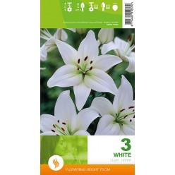 Лилия White р.12-14  3шт/уп луковица