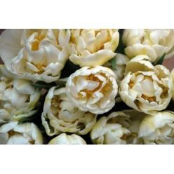 """Тюльпан """"Касабланка"""" (луковицы, 5 шт/уп)"""