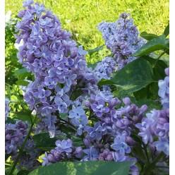 Сирень  Аукубофолия голубая, С5 40-50 см