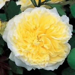 Роза парковая английская Пилигрим С3