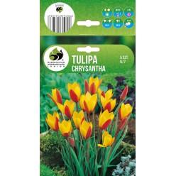Тюльпан Крисанта ботанический (луковица, 5шт/упак)