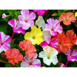 Мирабилис Jalapa Микс окрасок горшок С1