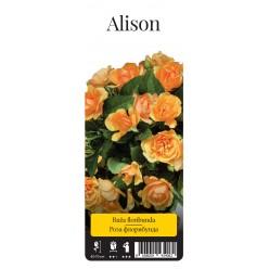 "Роза Алисон флор. (саж. ЗКС) ""Monteаgro"" коробка 2.38"