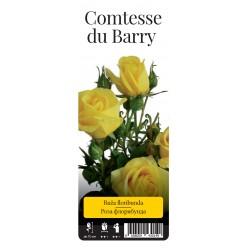 "Роза Комтесс де Бари флор. (саж. ЗКС) ""Monteаgro"" коробка 2.44"