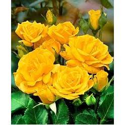 """Роза Фрезия флор. (саж. ЗКС) """"Monteаgro"""" коробка 2.06"""