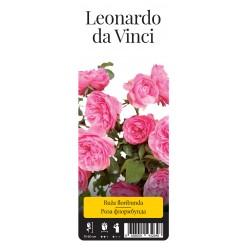 "Роза Леонардо да Винчи флор. (саж. ЗКС) ""Monteаgro"" коробка 2.32"