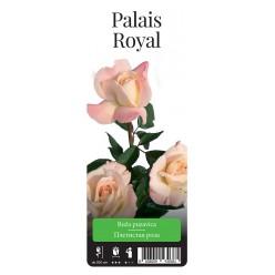 "Роза Пале Рояль плет. (саж. ЗКС) ""Monteаgro"" коробка 4.39"
