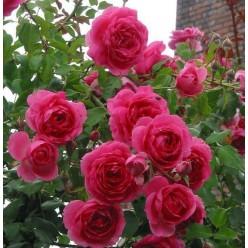 "Роза Парад плет. (саж. ЗКС) ""Monteаgro"" коробка 4.12"