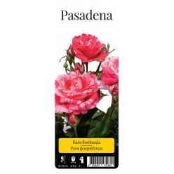"Роза Пасадена флор. (саж. ЗКС) ""Monteаgro"" коробка 2.15"