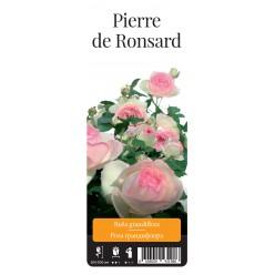 "Роза Пьер де Ронсар парк. гранд. (саж. ЗКС) ""Monteаgro"" каперс 6.03"