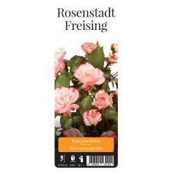 """Роза Розенштадт Фрайзин парк. гранд. (саж. ЗКС) """"Monteаgro"""" коробка 6.19"""