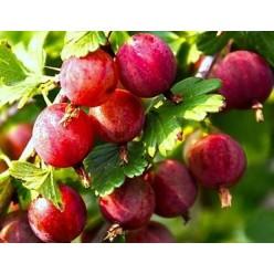 Крыжовник Раволт красный, РП (саженец плодово-ягодного кустарника)