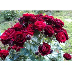 """Роза флорибунда """"Lavaglut"""" (саженец с ЗКС)"""