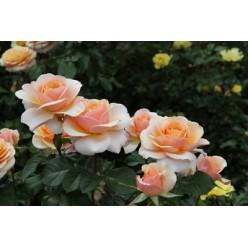 Роза Свит Леди чайно-гибридные  С3