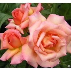 Роза плетистая Компэшин С3
