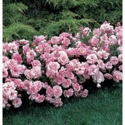 Роза почвопокровная Фэйри С3