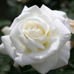Роза Мемойр чайно-гибридная С3