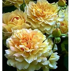 Роза Мулинекс английская С3