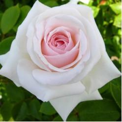Роза плетистая Шваненси С3
