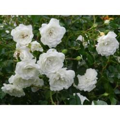 Роза почвопокровная Свани С3
