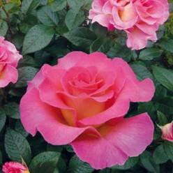 Роза Мондиаль чайно-гибридная С3