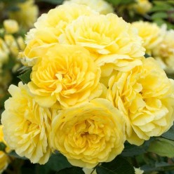 Роза Фрезия флорибунда С3