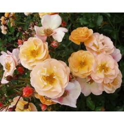 Роза Седана почвопокровная  С3
